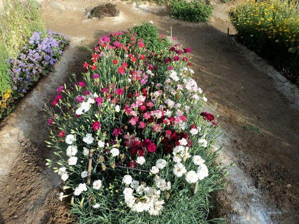 гвоздика в саду