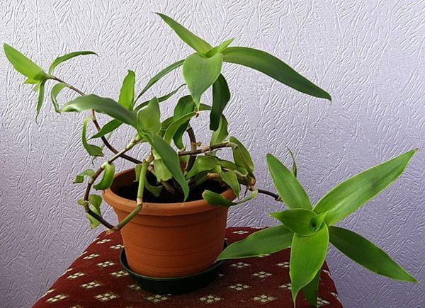 Золотой ус выращивание в домашних условиях
