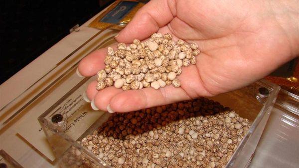 Люпины выращивание из семян когда сажать