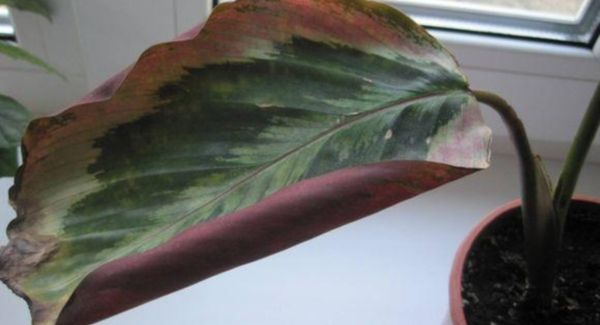 калатея скрученные листья
