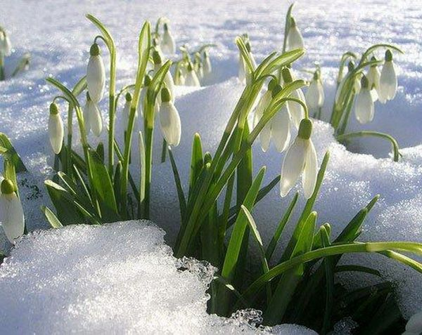 подснежник снег