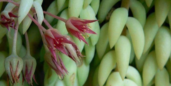 очиток цветет