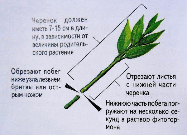 черенкование