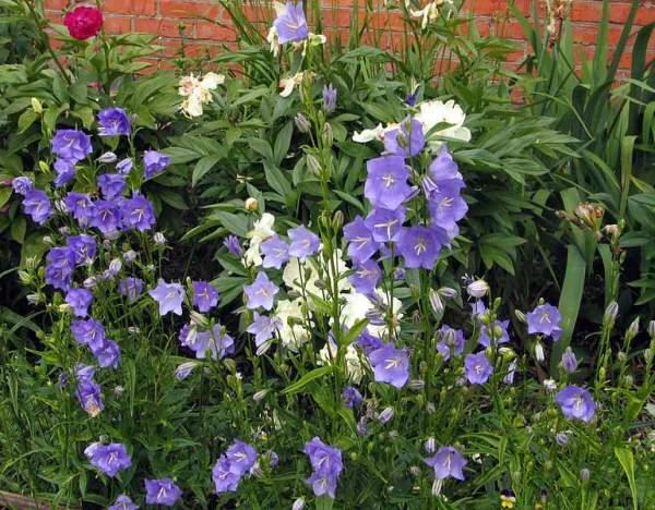 Двулетних цветов и растения в природе немного