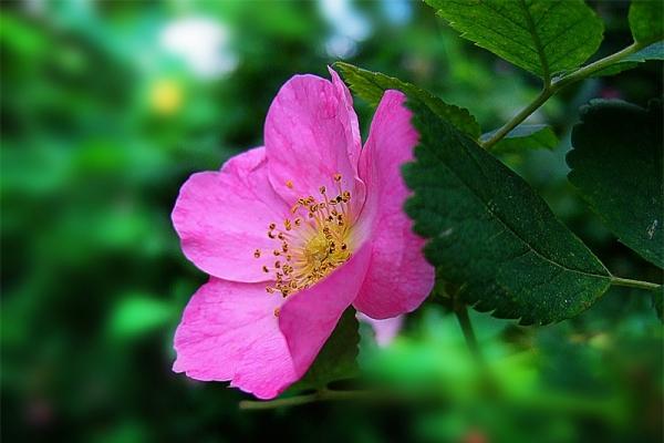 Лечебные свойства и противопоказания цветков шиповника