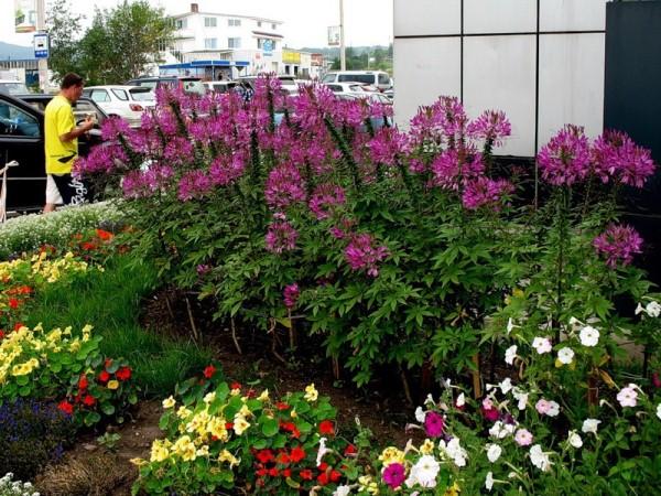 Клеома ― нежный цветок, заслуживающий места в любом цветнике