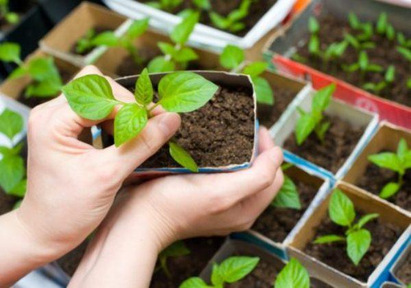 Прежде чем пересадить рассаду Клеомы на клумбу, рекомендуется опрыскать корневище стимулятором роста и удобрением Цитовит