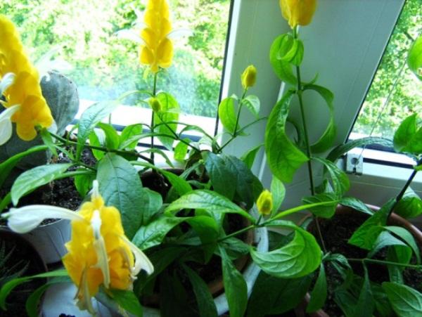 Пахистахис нельзя оставить без присмотра на время отпуска, так как больше 2-3 дней без полива растение не выдержит