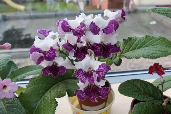 Чем меньше размер цветка, тем больше ярких пятен образуется на стрептокарпусе