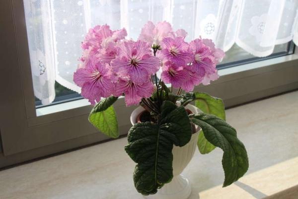 Цветок любит земли с кислотностью 6,7-6,9 рН, не переносит прямых солнечных лучей