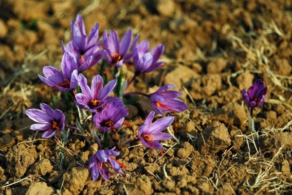 Шафран прекрасный это клубнелуковичное, многолетнее, травянистое растение, относящееся к семейству Ирисовых