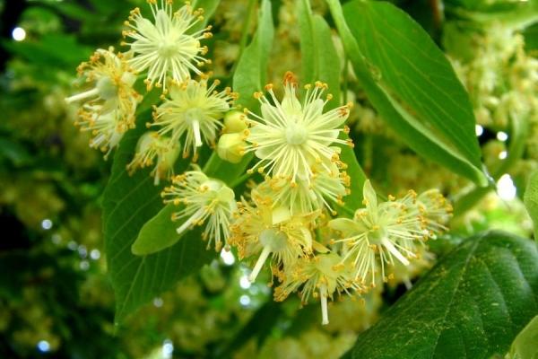 Цветы и описание фикус 46