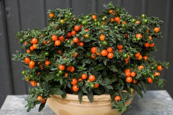 Уход за соланумом в домашних условиях, описание растения