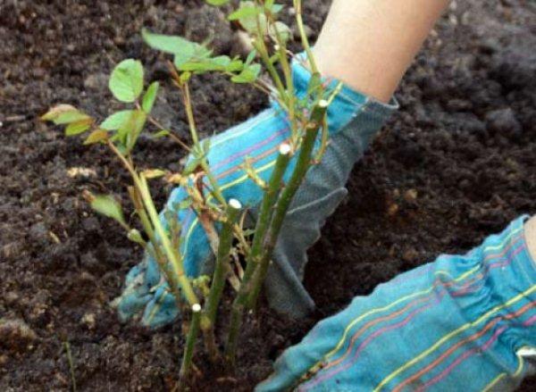 Лучшие почвы для посадки шиповника - супесчаные или суглинистые