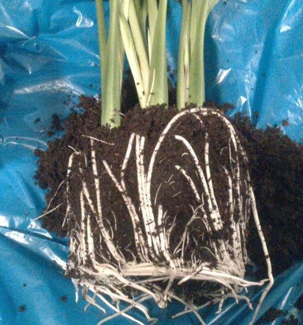 Отделять детку (корневую шейку) от корня нужно во время осенней пересадки в горшок
