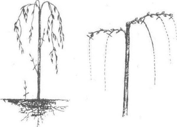 Как правило, обрезка Козьей ивы проводится на высоте 30-60 см