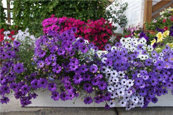 Брахикома станет украшением вашего сада или балкона