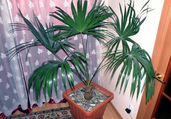 Пальма Трахикарпус, веерная