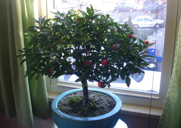 Растение очень любит свет, но прямые лучи солнца ему не полезны