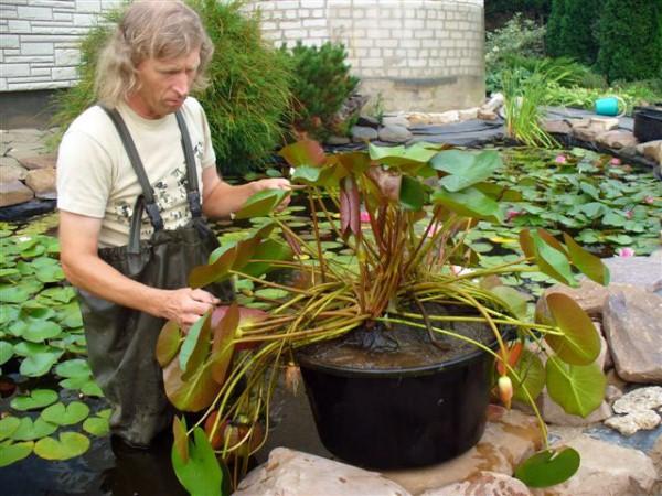 В искусственных водоемах Желтые кувшинки выращивают в горшках