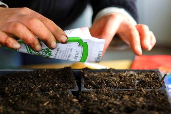 Семена высевают на расстоянии 2 см друг от друга, засыпают землей, накрывают стеклом или полиэтиленом