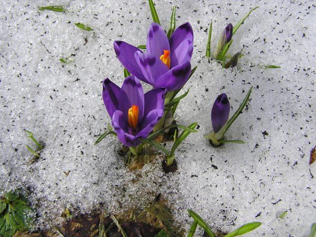 Цветение шафранов в конце зимы