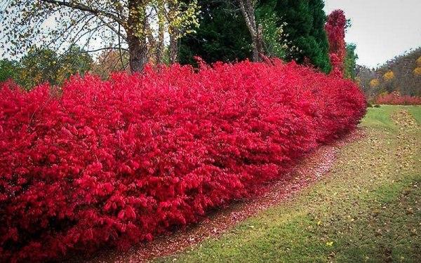 Чаще всего Бересклет используется в качестве живой формованной изгороди, так как хорошо сохраняет форму и не требует зимнего укрытия