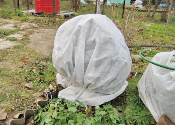 Кустарник к зиме укутывается плотной тканью, приствольный круг укрывается перегноем из опавших листьев