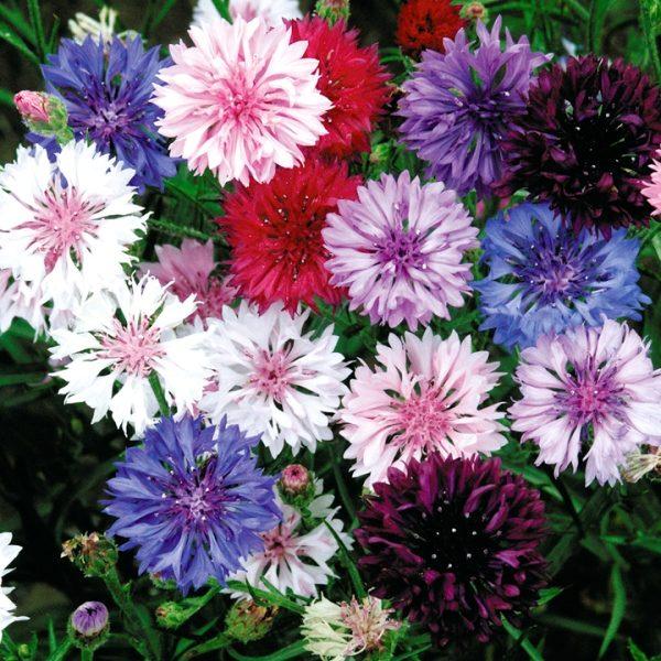 Василек – красивый, незамысловатый цветок, не требующий особого ухода
