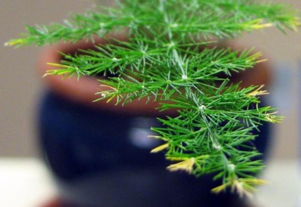 При поражении клещом обработайте растение Вертимеком, Фитовермом