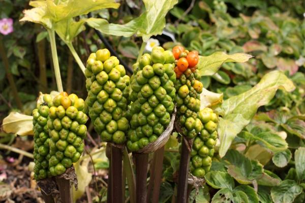Семена замочить в растворе гумата калия на 5 часов, проращивать в теплом помещении в течение 8 дней