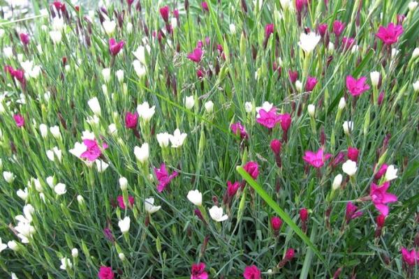 Цветок не нуждается в частом поливе, один раз за сезон его удобряют комплексным минеральным удобрением