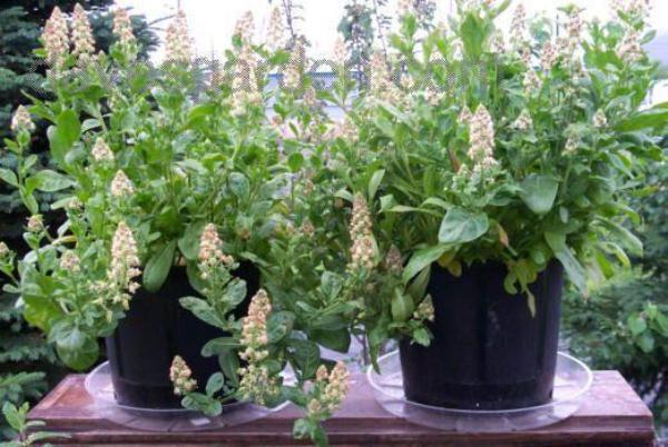 Резеду Душистую можно выращивать на балконе