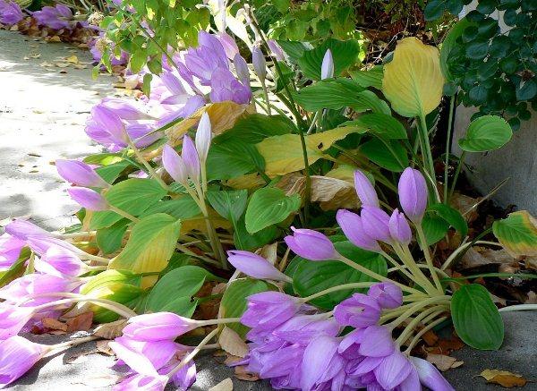 Безвременник неприхотливое растение, а его периоды активности и так сопровождаются естественными благоприятными условиями