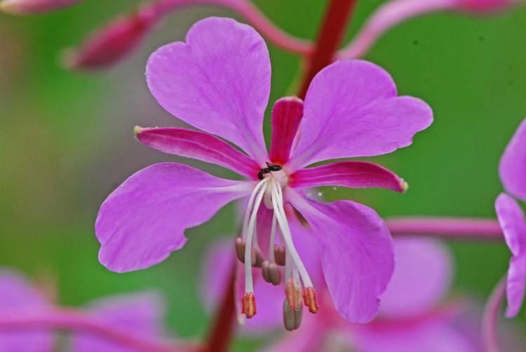 Цветок иван-чая, сделанный крупным планом