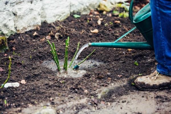 Шиповник засухоустойчивое растение и в постоянном поливе не нуждается