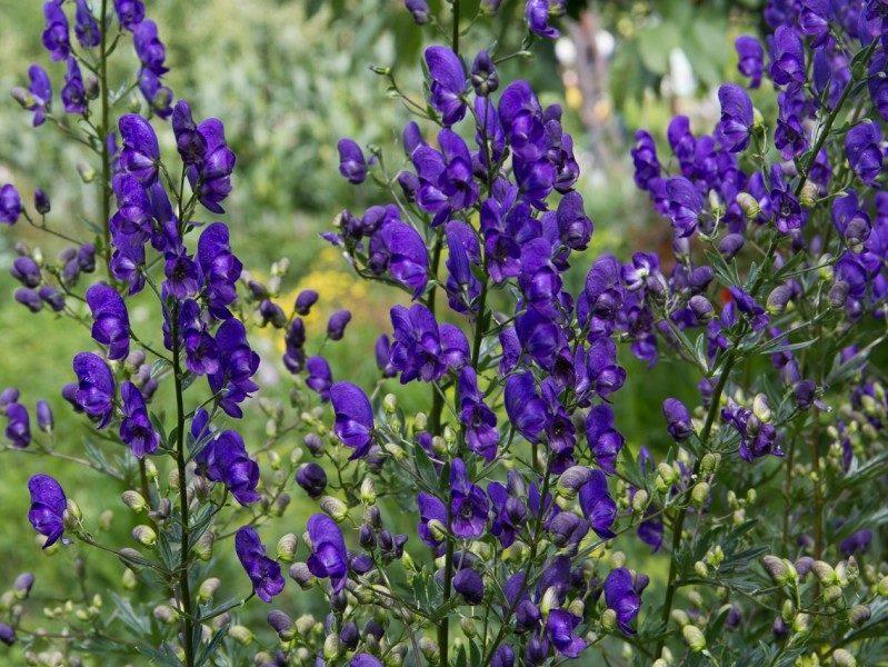Цветки растения крупным планом
