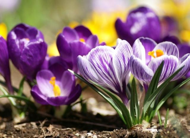 Цветок шафран