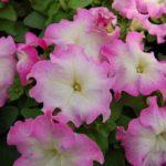 Limbo GP Pink