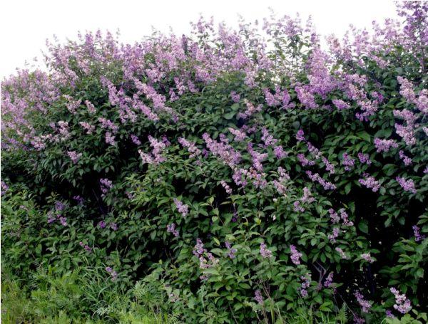 Сирень венгерская – кустарник с плотной лиственной кроной, имеющей яйцевидную форму