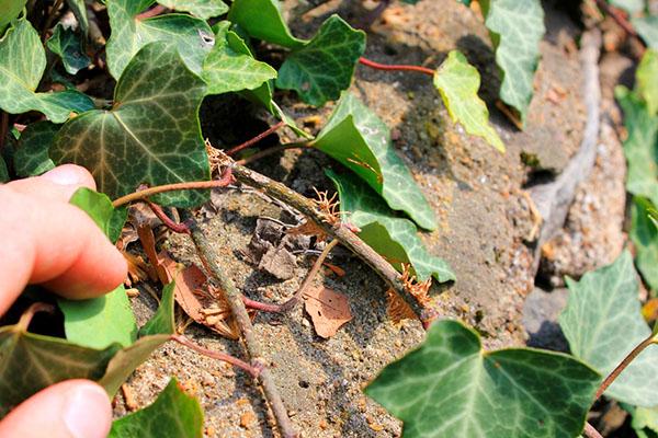Плющ размножается черенками, верхушечными побегами, отводками и семенами