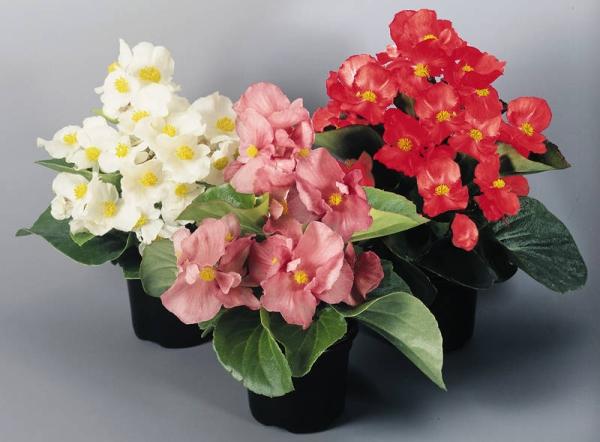 Цветки бегонии обладают лечебными свойствами, листья поглощают пыль, очищая воздух