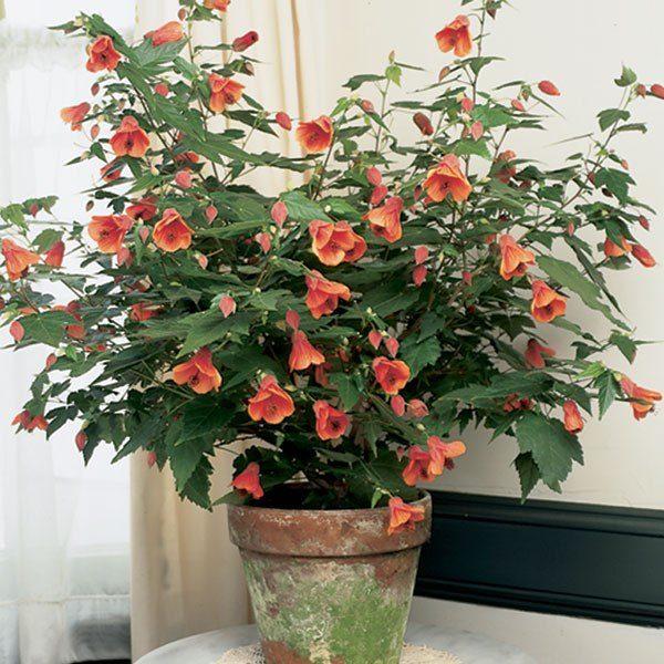 Разросшийся цветок в горшке при правильном уходе