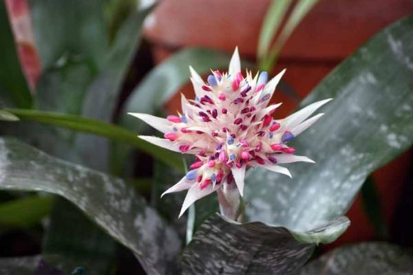 Не реже 1 раза в месяц цветок нужно подкармливать, во время цветения - 2 раза в месяц