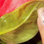 Гниль на листьях аглаонемы