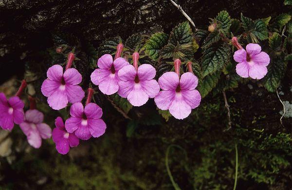 Ахименес в естественной среде тропиков