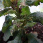 Листья ахименеса теряют форму из-за грибка