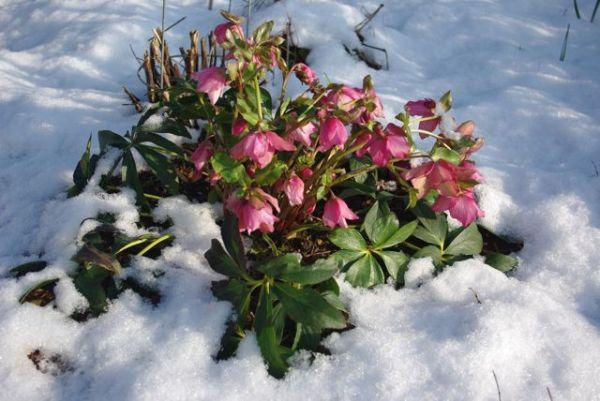 Взрослая альстромерия может зимовать в открытом грунте