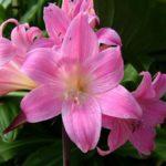 Цветок сорта Белладонна