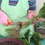 Антисептированными ножницами разрезают корневище